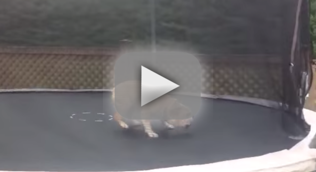 Bulldog on a Trampoline!