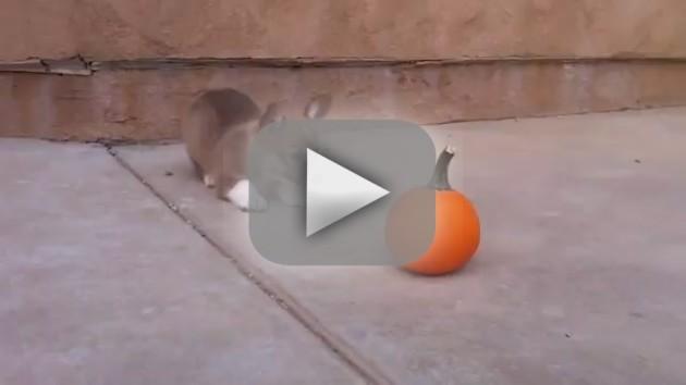 Corgi Plays with Pumpkin