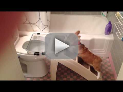 Corgi Uses the Toilet!