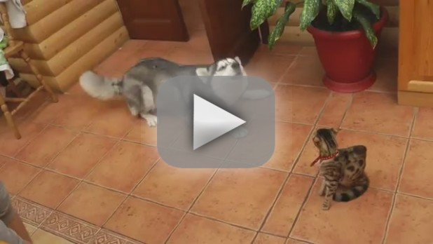 4 Husky Videos That Leave Us Howling