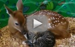 Deer Licks Kitten
