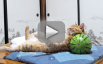 Cat Tries to Nap on Watermelon