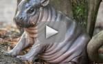 Pygmy Hippo Born in Sweden