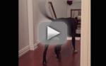 Pit Bull Walks Through Doorways Backward