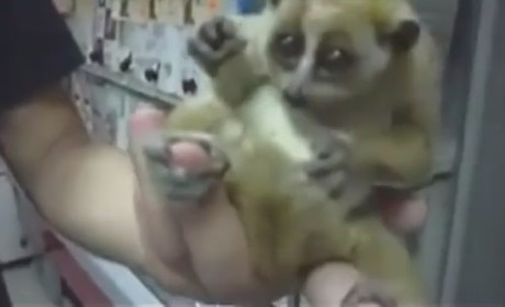 Slow Loris Holding Umbrella