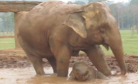 Baby Elephant Plays in Mud, Internet Swoons