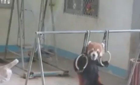 Red Panda Pull-Ups: Cutest Workout Ever!