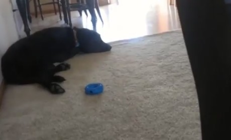 Dog Awakens to Adele, Sings Along