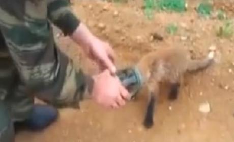 Fox With Head Stuck in Jar