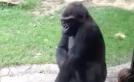 Gorilla Scares Kids at Zoo