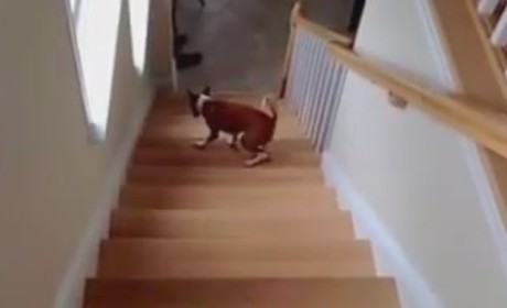 Dog Walks Up Stairs Backward