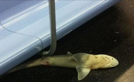 Dead Shark Discovered in New York City Subway Car