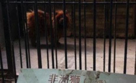 Tibetan Mastiff Disguised as Lion at Chinese Zoo