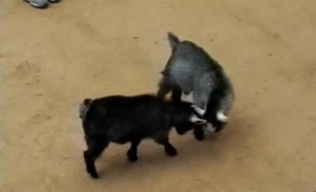 Baby Goats Fighting