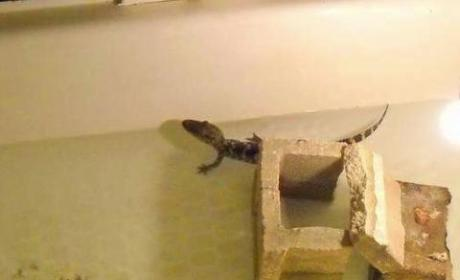 Mother Calls 911 on Son, Reports Illegal Alligator in Bathtub