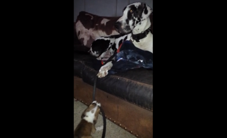 Bulldog Tries to Take Great Dane for a Walk: Video