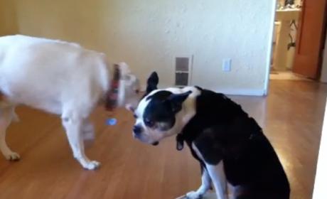 Dog Rides Roomba