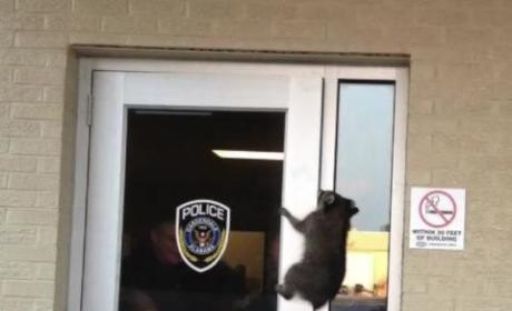 Raccoon Breaks Into Police Station, Doesn't Leave Easily