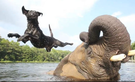 Elephant and Dog Play in Water, Are Total BFFs