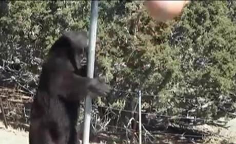 Bear Plays Tetherball