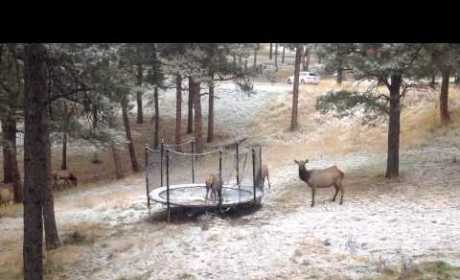 Elk Jumps on Trampoline, Friends Grow Jealous