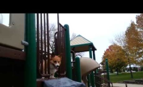 Corgi LOVES the Slide