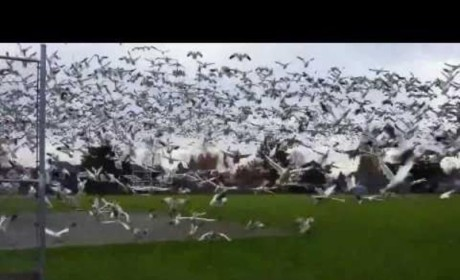 Geese Tsunami in Canada: You Gotta Watch This!