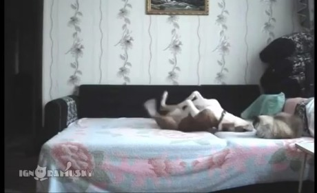 Dog Plays on Owner's Bed, Has Time of His Life