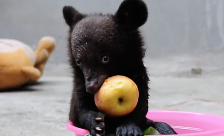 Baby Bear Eats Apple, Gets a Bath, Becomes Cutest Animal on the Internet
