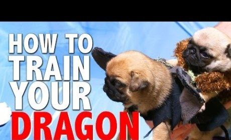 Pugs Help Viewers Learn How To Train Their Dragon