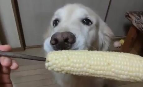 Golden Retriever Eats Corn Like Humans