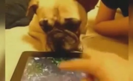 Pug Licks iPad Screen, Believes It To Be Real Water