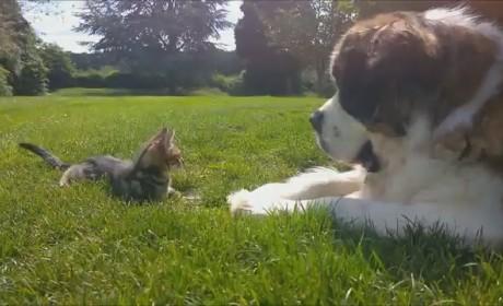 Saint Bernard Fascinated by Oblivious Kitten: Won't You Be My Friend?