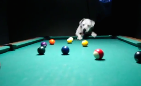 This Dog is Really Good at Pool