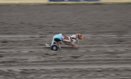 Anderson Pooper, Disabled Dachshund, Competes in Wiener Dog Race