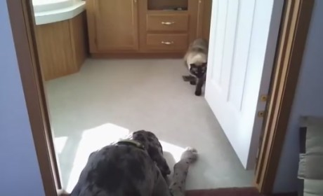 Cat Attempts to Sneak Past Grant Dane