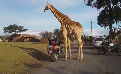 Giraffe Attempts to Join Sons of Anarchy, Really Wants to Ride Motorcycle