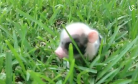 Piglet Bounds Through Grass, Makes the World a Better Place