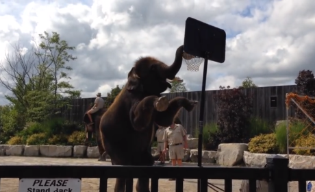 Elephant Slam Dunks Basketball: Your Move, Air Bud!