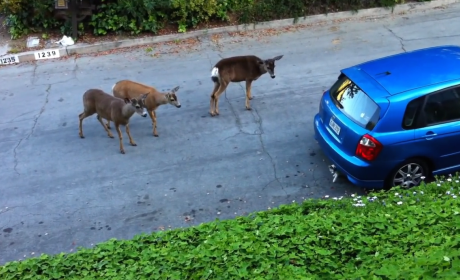 Herd of Deer Encounters Cat, Mass Confusion Ensues