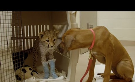 Puppy Accompanies Cheetah to Surgery, Remains by Best Friend's Bedside