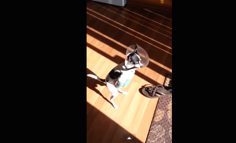 Two-Legged Dog Hops All Around, Makes Most of Life