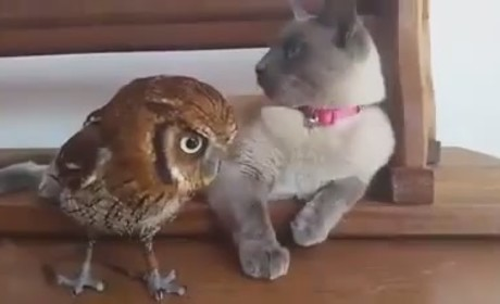 VIDEO: Kitten Tries to Play with Disinterested Owl