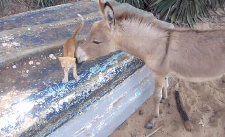 Donkey Befriends Kitten in Adorably Surprising Video: Watch Now!