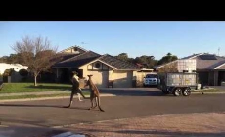 Kangaroos Fight in the Street, Lie in Wait for Some Scary Reason
