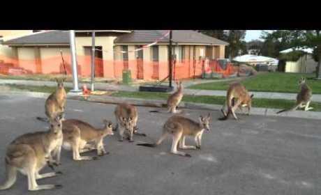 Kangaroos Line Up in Street, Freak Us Out