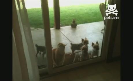 Cat Opens Door for Dogs