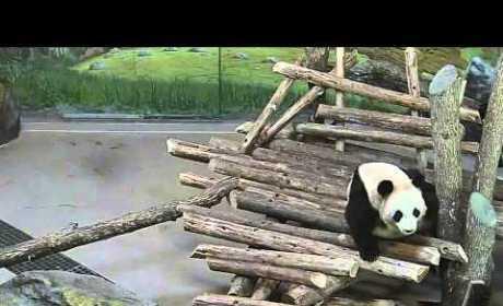 Squirrel Freaks Out Panda, Awakens Large Animal from Slumber