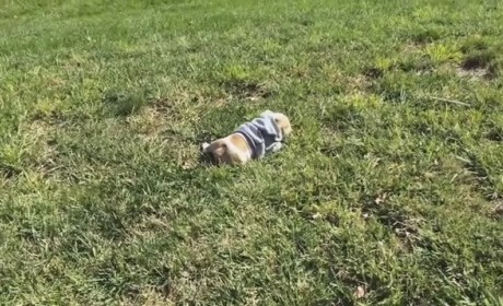 English Bulldog Rolls Down Hill, Epitomizes True Happiness