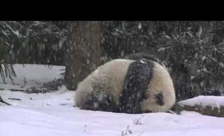 Bao Bao the Panda Plays in Snow, Makes Winter Slightly Less Terrible